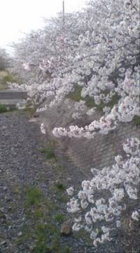 桜.jpgのサムネール画像のサムネール画像